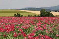 Field of poppies in agricultural landscape Royalty Free Stock Photography