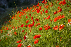 Field with poppies Royalty Free Stock Image