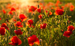 Field of poppies and blaze Stock Photography