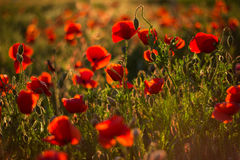 Field of poppies and blaze Stock Image