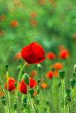 Field poppies. Blooming poppies on green field Stock Images
