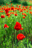 Field poppies. Blooming poppies on green field Royalty Free Stock Photos