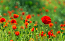 Field poppies. Blooming poppies on green field Royalty Free Stock Images