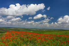 Field of poppies and blue sky Stock Photography