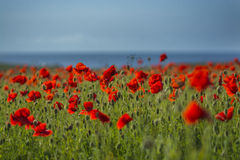 Field of poppies with blue sky at Polly Joke Royalty Free Stock Image