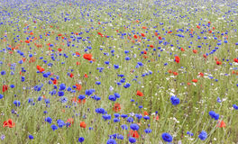 Field of poppies and bluetts Stock Photography