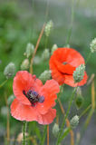 Field Poppies among canary grass. Stock Images