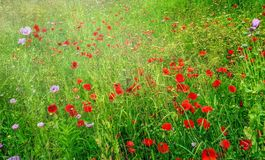 Field of Poppies royalty free stock image