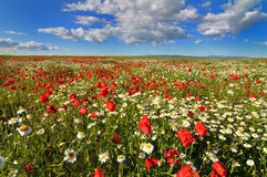Field of poppies and daisies Stock Photography