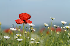 Field of poppies and daisies Royalty Free Stock Photo