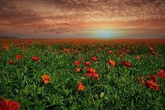 Field Of Poppies, Evening Sun Stock Image