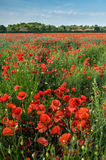 A field of poppies. Evokes a feeling of remembrance Royalty Free Stock Image