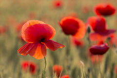 Field poppies. In front of this beauty, what can one say? How much beauty God gave us in this world! Because soul partaking of it, be our turn ... beautiful Stock Images