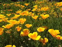 Field of poppies. Poppies poppies poppies are fun Stock Image