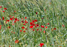 Field of poppies. With green grass Stock Image