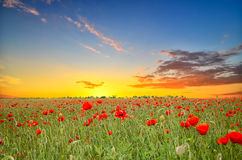 Field with poppies Stock Photos