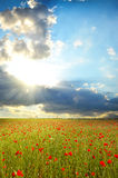 Field with poppies Royalty Free Stock Photo