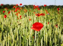 Field of poppies. Green field with red poppies in the warm summer time Stock Image