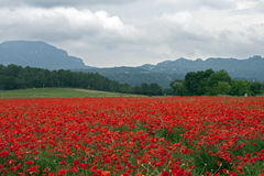 Field of poppies on grey day Stock Photos