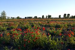 Field of poppies. Image of beautiful field of poppies Royalty Free Stock Photo