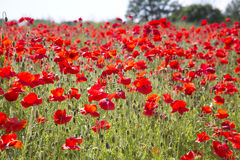 Field of poppies Stock Photos