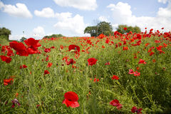 Field of poppies Stock Photography