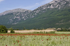 Field of Poppies in the Mountains Royalty Free Stock Photography