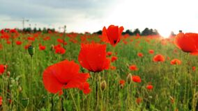 Field of poppies moved by gentle wind with strong sunlight in the background. Spring background