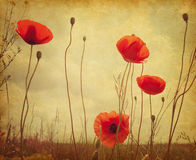 Field with poppies. Royalty Free Stock Photos