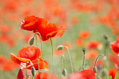 Field with poppies Stock Images