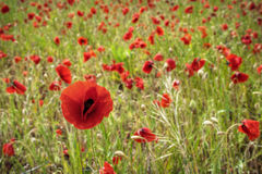 Field of poppies. A field of red poppies in Europe Stock Images