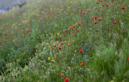 Field of poppies. Red flowers Stock Images