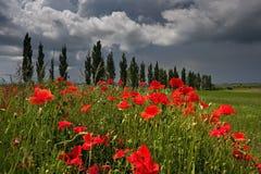 Field of poppies on roadside Stock Photo