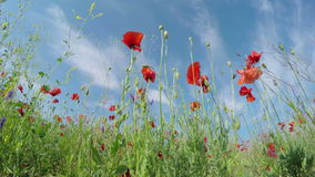 Field of Poppies stock video