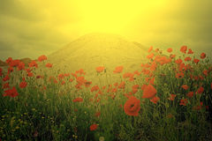 Field of poppies and a sand dune in sunset light Royalty Free Stock Image