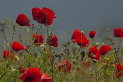 Field of poppies with some grass. Field of poppies at ground level with wild plants and grass royalty free stock photography