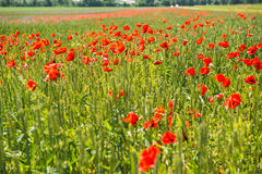 Field of poppies. Field with poppies in south east Sweden royalty free stock photography