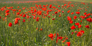 Field of poppies. Field with poppies in south east Sweden stock photography