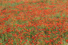 Field of poppies. In summer stock photo