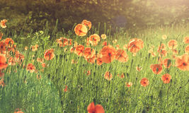 Field of poppies with sun beam Royalty Free Stock Photo