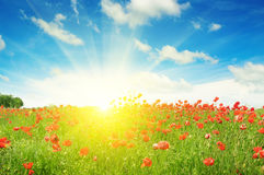 Field with poppies and sun Stock Photography