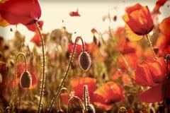 Field poppies sun rays. Blurred summer background field poppies sun rays royalty free stock photos