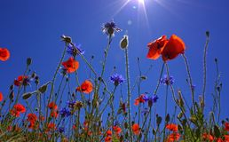 Field Of Poppies, Sun, Spring Stock Images