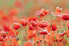 Field of poppies. In the sunlight Stock Photos
