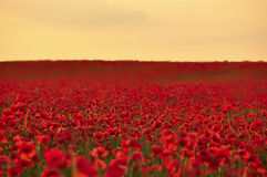 A field of poppies at sunset, dawn. A field of bright scarlet poppies to the horizon at the time of sunrise, sunset Royalty Free Stock Photography
