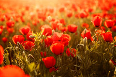 Field of poppies on a sunset Royalty Free Stock Photos