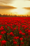 Field of poppies on a sunset Stock Photography