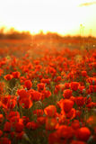 Field of poppies on a sunset Royalty Free Stock Photo