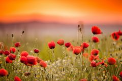 A field of poppies at sunset illuminated by the gentle light of the sun that leaves. All colors are in full harmony, in peace and quiet Royalty Free Stock Photos