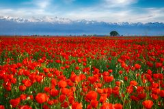 Field of poppies on a sunset Royalty Free Stock Images